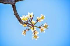 Plumeria on tree royalty free stock photography
