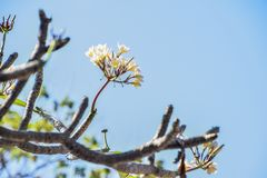 Plumeria on tree royalty free stock image