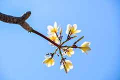 Plumeria on tree royalty free stock image