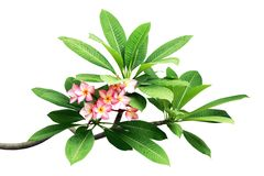 Plumeria Tree Branches with Leaves and Pink Flowers Isolated on White Background. Plumeria Tree Branches with Green Leaves and Pink Flowers Isolated on White stock images