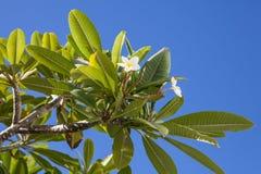 Plumeria tree Stock Image