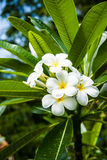 Plumeria tree Stock Photography