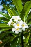 Plumeria tree. A cluster of white plumeria flowers Stock Photography