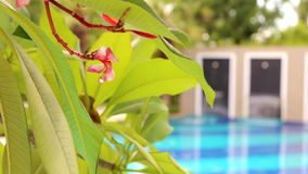 Plumeria Tree at Garden. Scene of plumeria tree in a garden in Thailand with background of a pool stock footage
