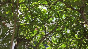 Plumeria tree and leaves. At the park in Penang hill, Malaysia stock footage