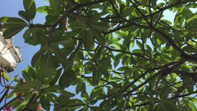 Plumeria tree and leaves. At the Penang museum, Malaysia stock video footage