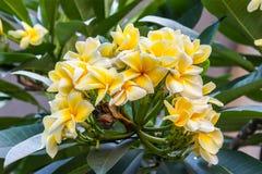 Plumeria tree Royalty Free Stock Photography