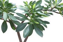 Plumeria Tree Royalty Free Stock Photos