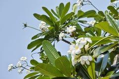 Plumeria Tree. White plumeria on the plumeria tree royalty free stock photos