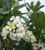 Plumeria tree with white and yellow flowers Stock Photo