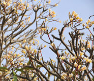 Plumeria trees and flower at the Phang Nga National Park in southern Thailand Royalty Free Stock Image