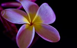 Tropical Plumeria Flower from Hawaii Island royalty free stock images