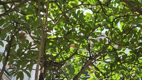Plumeria trees at the park. In Can Tho city, Vietnam stock video