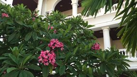 Plumeria trees with pink flowers at the park stock video footage