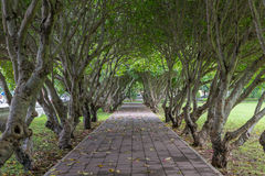 Plumeria trees tunnel over pathway. Green plumeria trees tunnel over pathway Stock Photography