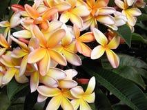 Plumeria tricolore Photos stock