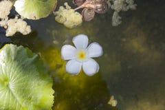 Plumeria tropical blanco en la charca, visión superior de la flor Fotografía de archivo
