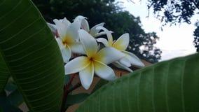 Plumeria tropical de fleur Photos stock