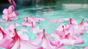 Plumeria tropical del frangipani de las flores, Leelawadee que flota en el agua La piscina del balneario Paz y tranquilidad almacen de metraje de vídeo