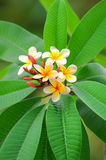Plumeria tropical flower Royalty Free Stock Images