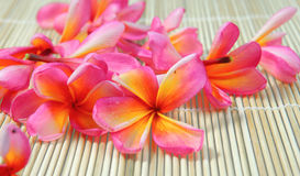 Plumeria tropical flower Stock Photography