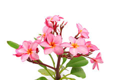 Plumeria tropical flower Stock Photo