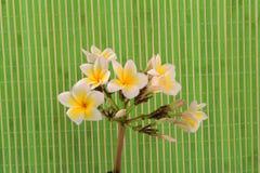 Plumeria tropical flower Royalty Free Stock Photo