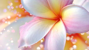 Plumeria. Royalty Free Stock Photos