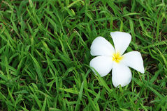 Plumeria, tropical flower on grass field Royalty Free Stock Image
