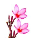 Plumeria tropical flower isolated on white backgro Stock Photos