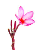Plumeria tropical flower isolated on white backgro Royalty Free Stock Photo
