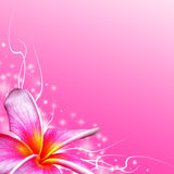 Plumeria tropical flower Royalty Free Stock Photography
