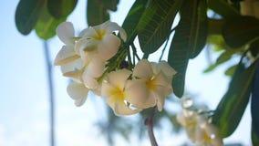 Plumeria is a tropical flowering tree. Phangan, Thailand. Plumeria is a tropical flowering tree stock video footage