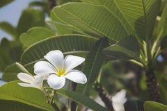 Plumeria tropicale Immagini Stock Libere da Diritti