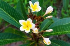 Plumeria - una flor muy hermosa Imagenes de archivo