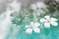 Plumeria und Hibiscus-Blumen, die auf Wasser schwimmen Stockfotografie