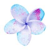 Plumeria. Vector illustration. Beautiful white tropical flower Royalty Free Stock Photos