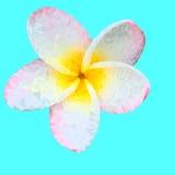 Plumeria. Vector illustration. Beautiful white tropical flower Royalty Free Stock Image