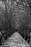 Plumeria Walk Way Stock Image