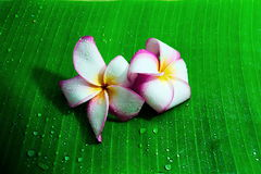 Plumeria with water drop on the banana leaf blackground. Stock Images