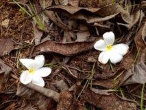 Plumeria, weiße Blume des Frangipani Lizenzfreies Stockfoto