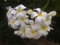 Plumeria, weiße Blumen lizenzfreie stockfotos