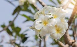 Plumeria-weiße Blumen ist undeutlicher Hintergrund stockfoto
