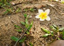 Plumeria-, weiße und Gelbeblume Stockfotos