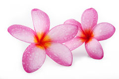 Plumeria on white background Royalty Free Stock Image