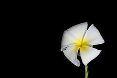 Plumeria white background. Fragrant flowers Royalty Free Stock Photos