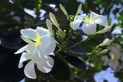 Plumeria. White plumeria beautiful bloom flower Royalty Free Stock Photos