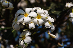 Plumeria white Stock Images