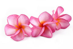 Plumeria on white Royalty Free Stock Photos