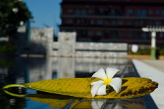 Plumeria white flower with its leaf near swimming pool Royalty Free Stock Image